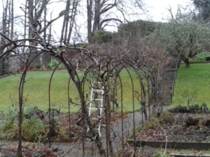 The pear arch, half way through pruning, short at the front and bushy at the back.