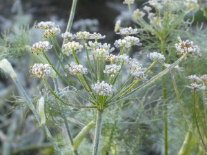 Frost on Fennel seed heads.
